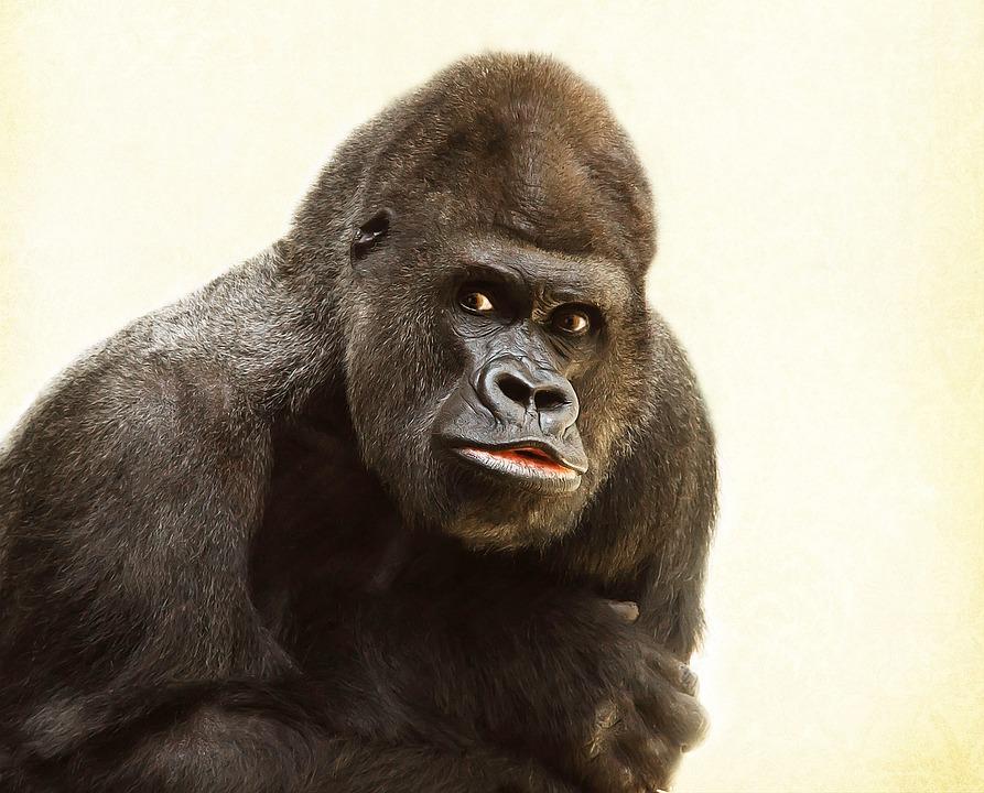 Gorilla, Silverback, Animal, Silvery Grey, Imposing