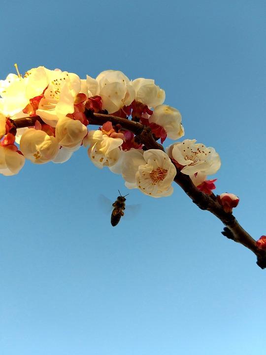 Bee, In, Flight, Flowers, By, Apricot