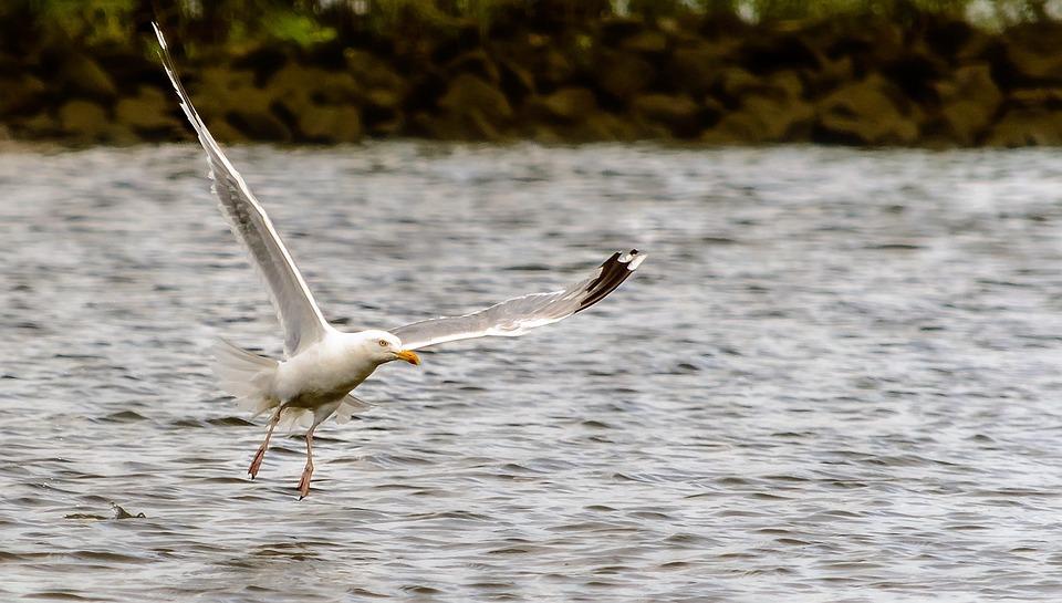 Seagull, Flight, Bird, Flying, In Flight, Wing