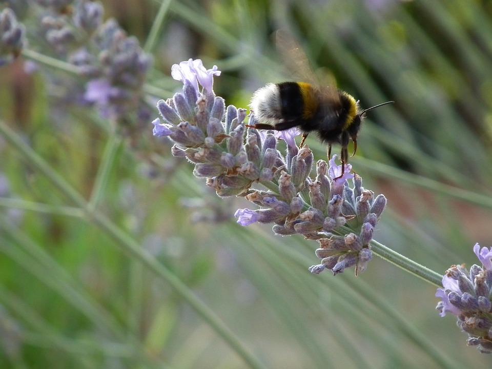 Lavender, Bee, Forage, Flower, In Flight