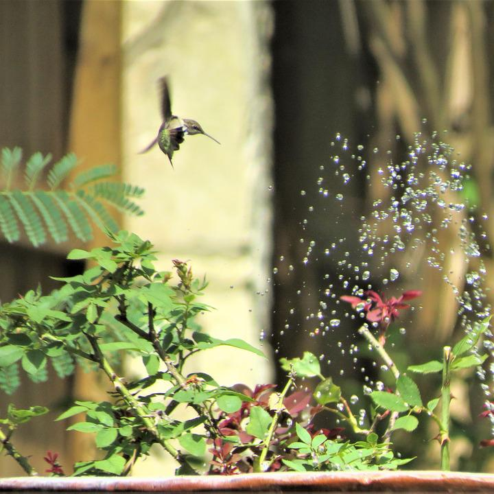 Hummingbird, Fountain, In Flight, Playing In Water