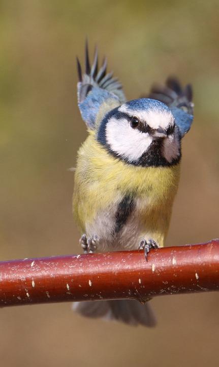 Blue Tit, Garden Bird, Flying, In Flight, Blue, Tit