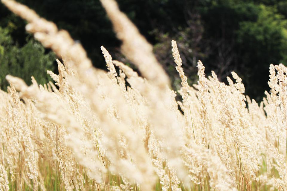 Grasses, In, The, Wind, Windy, Nature, Meadow