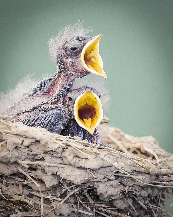 Birds, In Nest, Wildlife