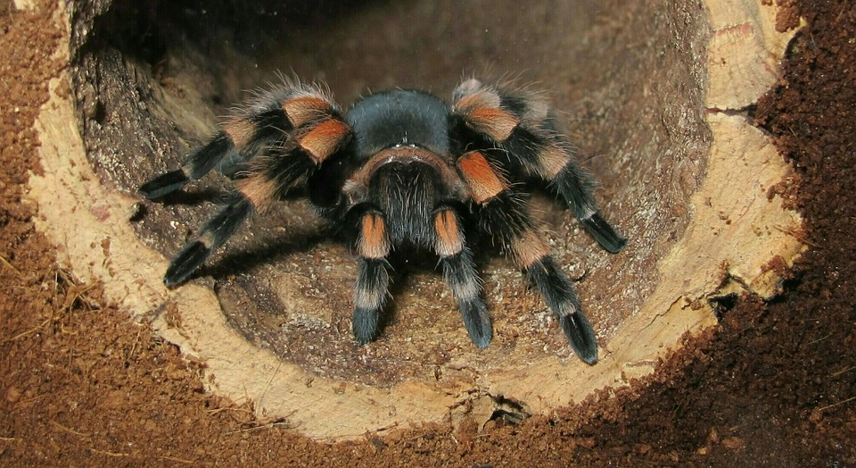 Tarantula, Brachypelma Smith, In Terrarium