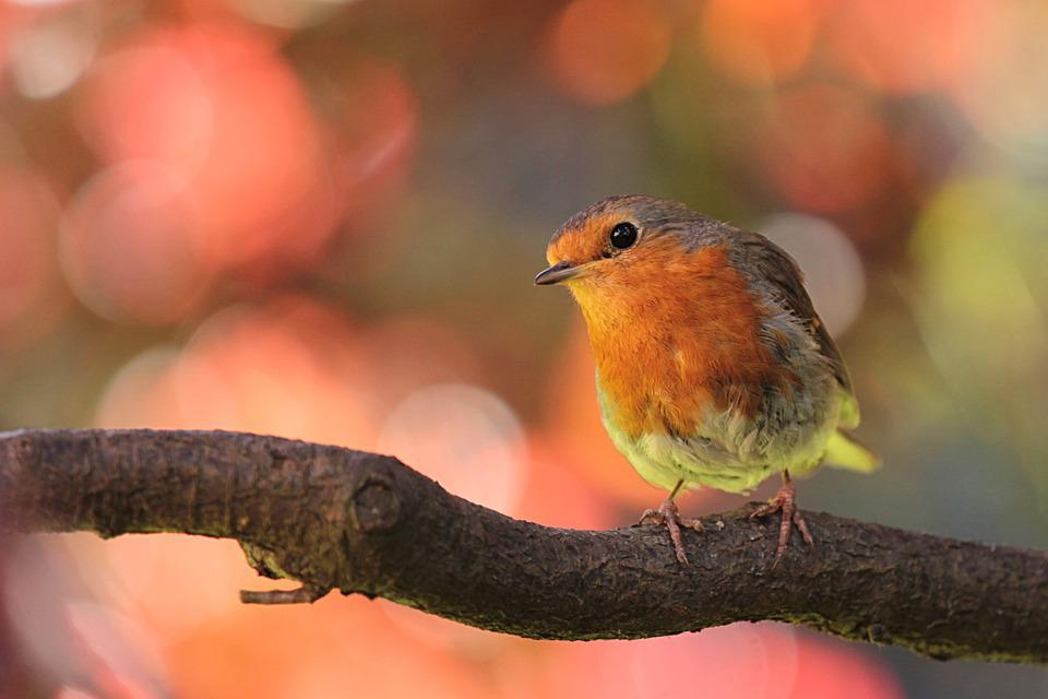 Robin, Bird, On Branch, In The Garden