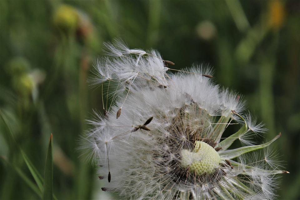 Nuns, Filigree, Dandelion Together, Fluff, In The Grass