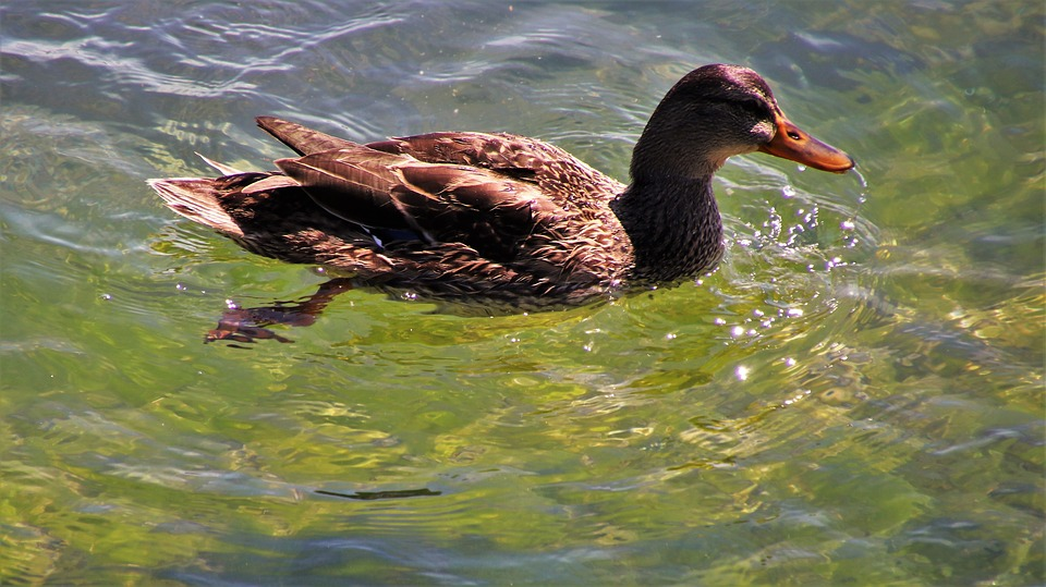 Duck, In The Water, Swim, Plumage, Natural, Summer