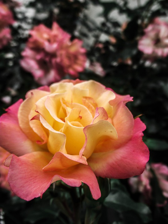 Bloom, Close, Incomplete, Spring, Flowers, Gentle, Rose