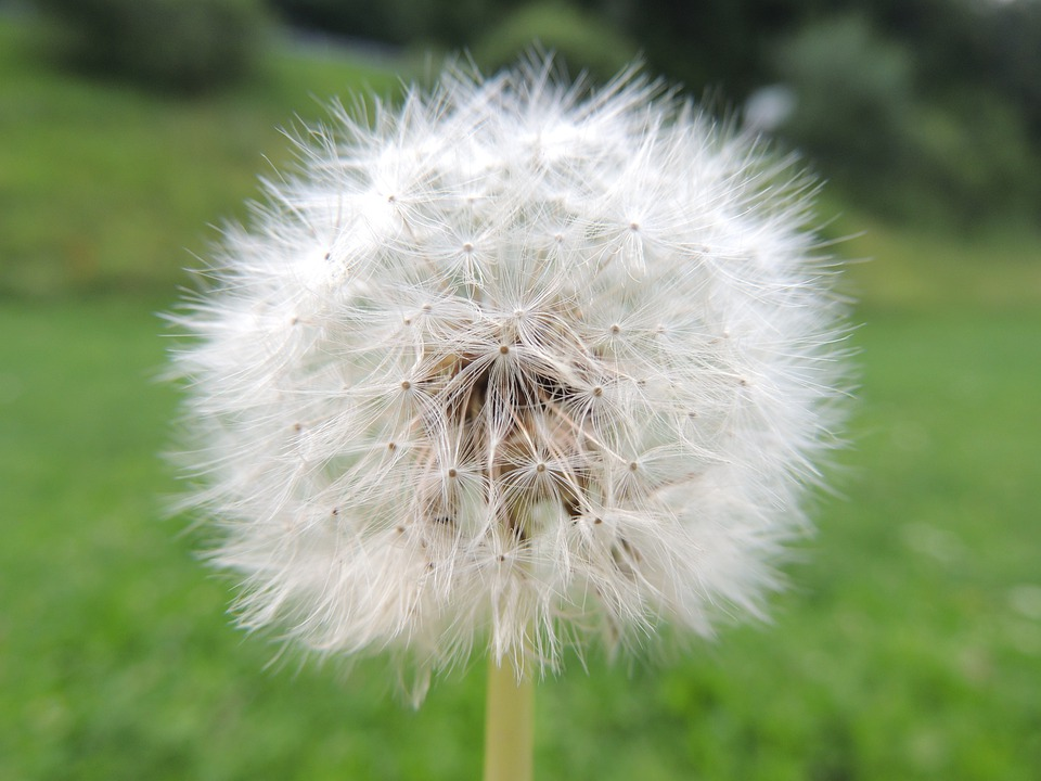 Dandelion, Incomplete, Flower, Summer, Meadow, Seeds