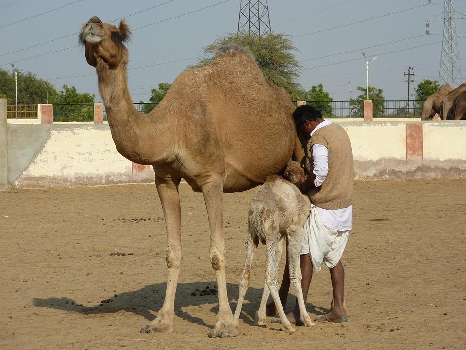 Camel Farm, Bikaner, India