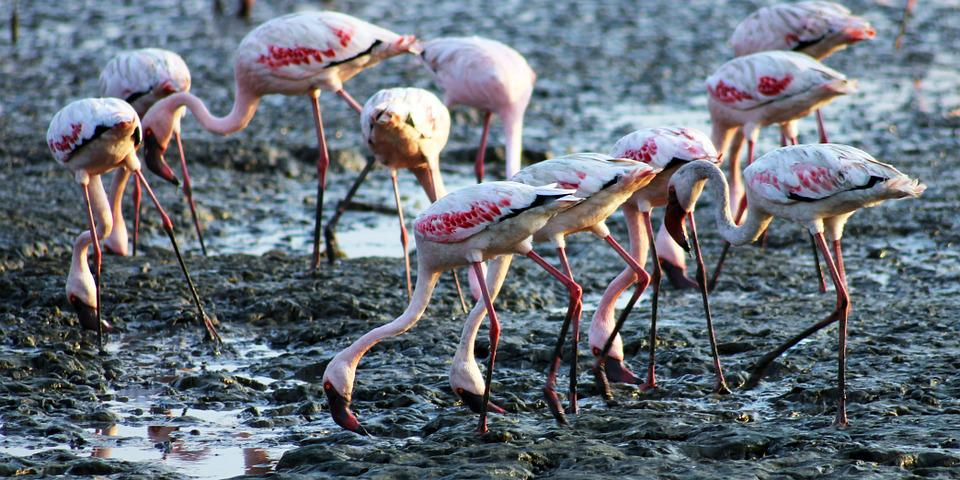 Flamingos, Birds, Eating, Ground, India, Sewri