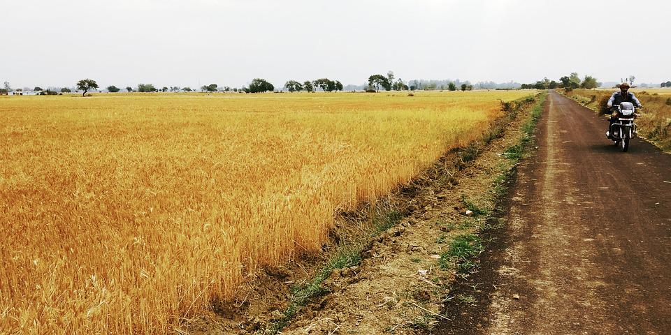 Wheat, Wheat Field, India, Food, Gold, Agriculture