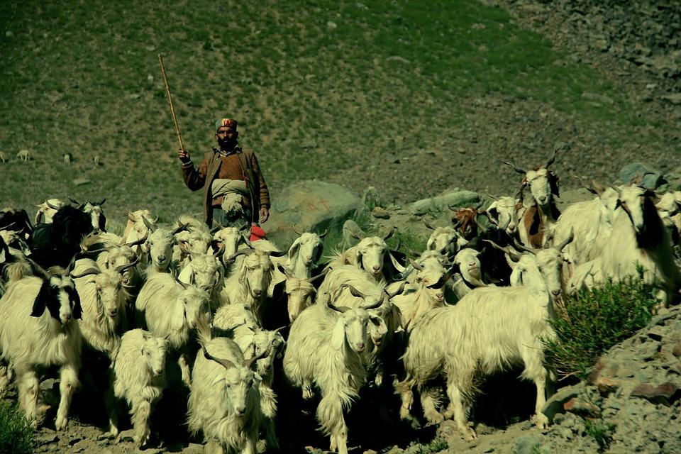 Shepherd, Ladakh, India, Tibet