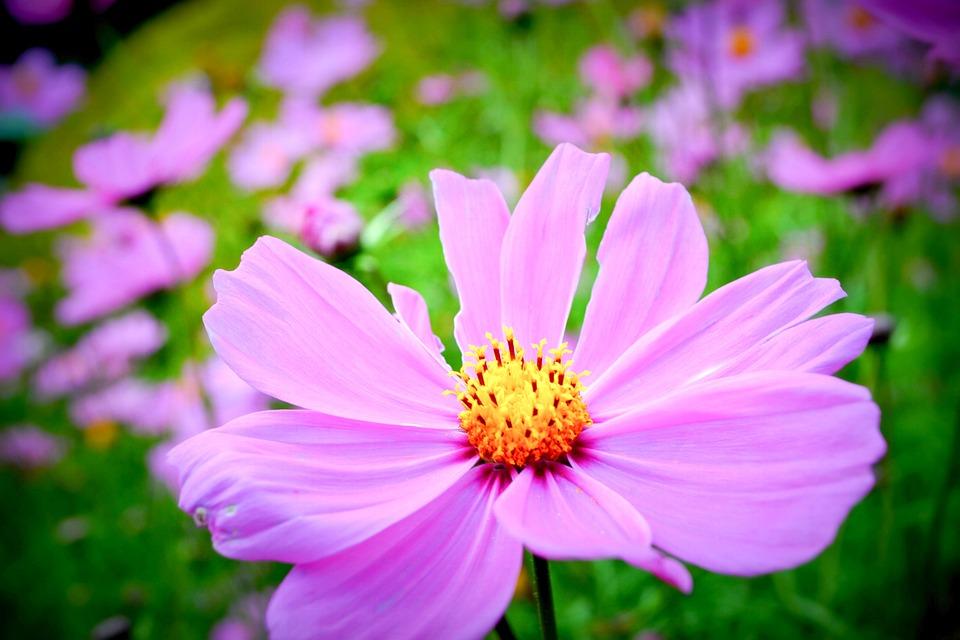 Free photo india pink flower field kerala pink flowers max pixel flower field pink pink flowers india kerala mightylinksfo