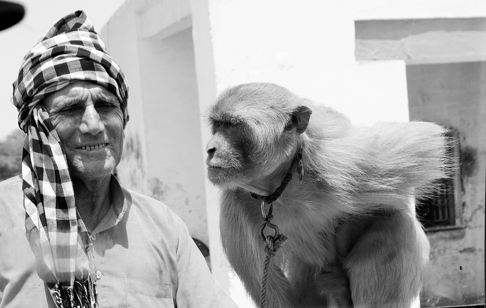 India, Monkey, Hindu, Tourism, Macaque, Rajasthan