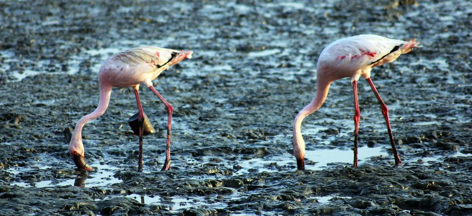 Flamingos, Birds, Eating, Ground, Sewri, India