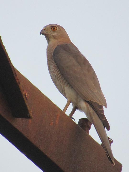 Shikra, Bird, Wildlife, Accipitridae, India, Predator