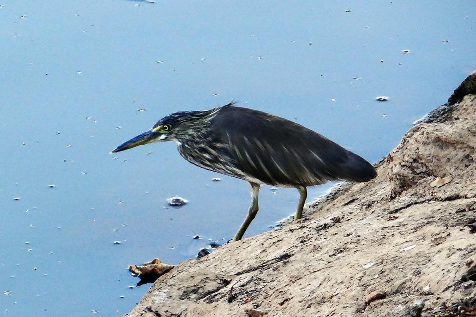 Pond Heron, Stalking, Paddy Bird, Lake, Dharwad, India