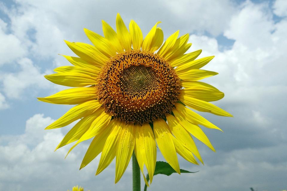 Karnataka, Sunflower, India, Floral, Plant, Natural