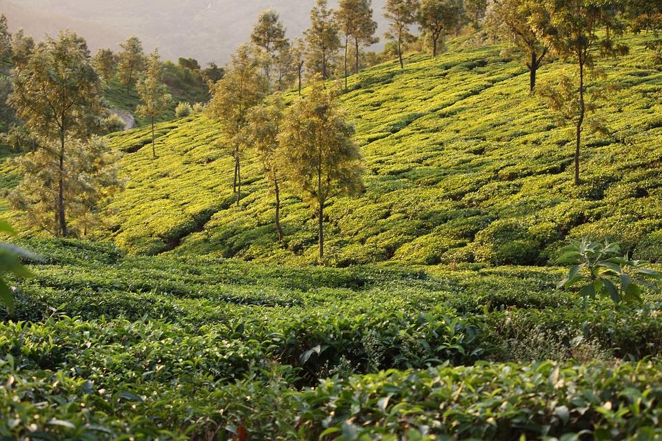 Sunrise, Tea, Travel, Plantation, India, Drink, Green