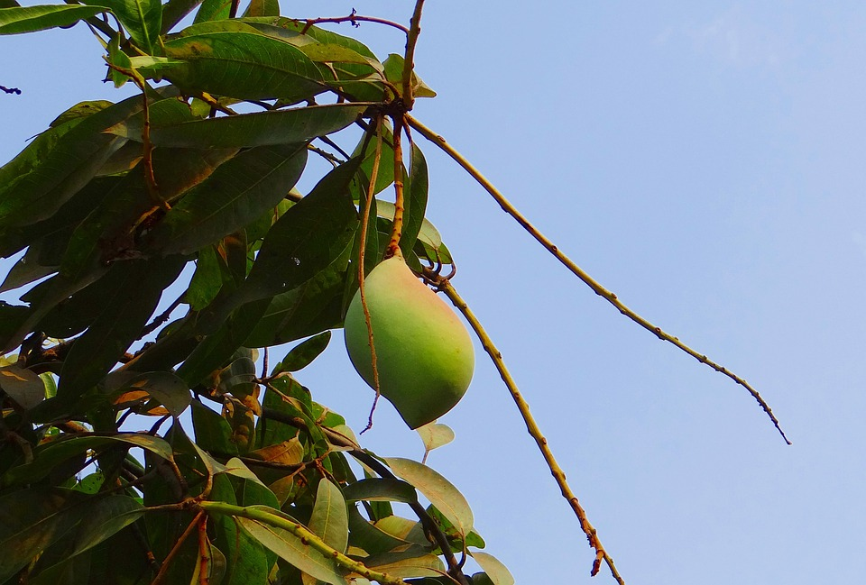 Mango, Totapuri, High-yield, Fruit, Tropical, India