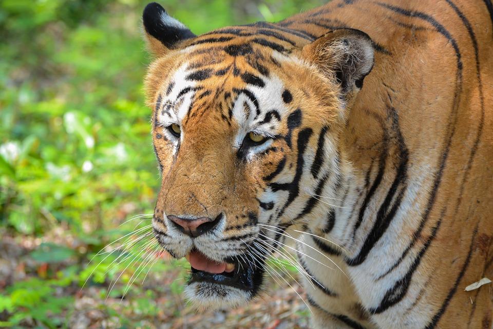 Tiger, Park, Zoo, Bannerghatta, India, Wildcat, Nature