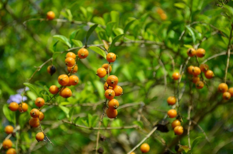 Berries, Orange, Fruit, Plant, Indian