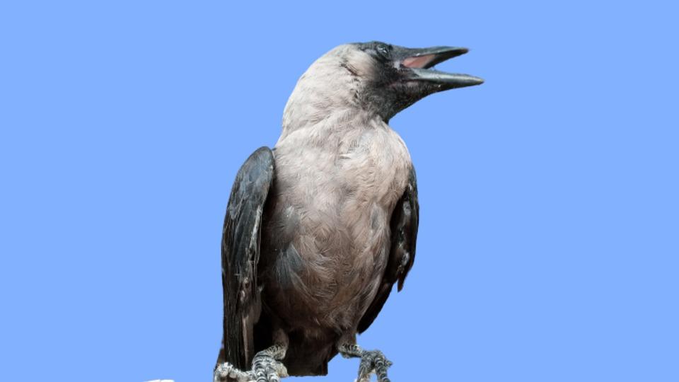 Indian Crow, House Crow, Greynecked, Bird, Sky