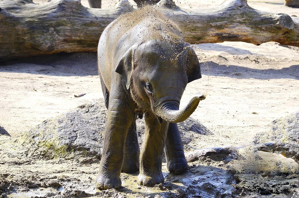 Elephant, Indian Elephant, Baby Elephant, Pachyderm