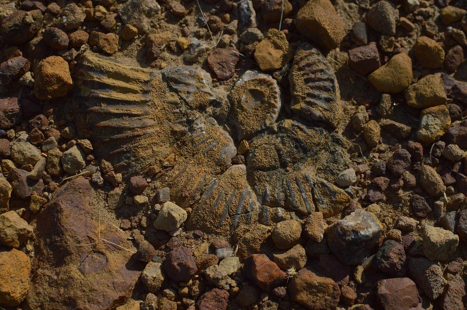 Ancient Aquatic Fossil, Kutch Fossil, Indian Fossil