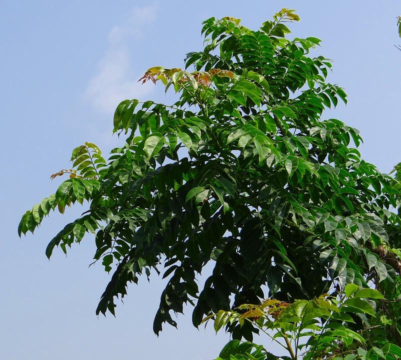 Free photo Indian Hog Plum Ambada Aamraata Tree Max Pixel