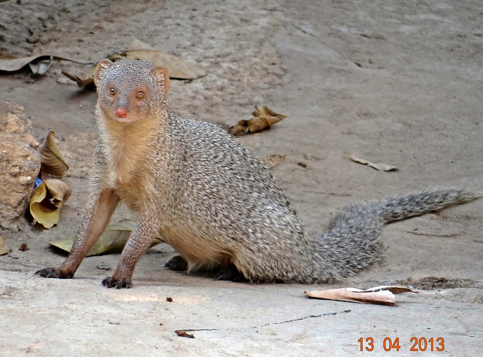 Mongoose, Indian, Gray, India, Karnataka, Animal