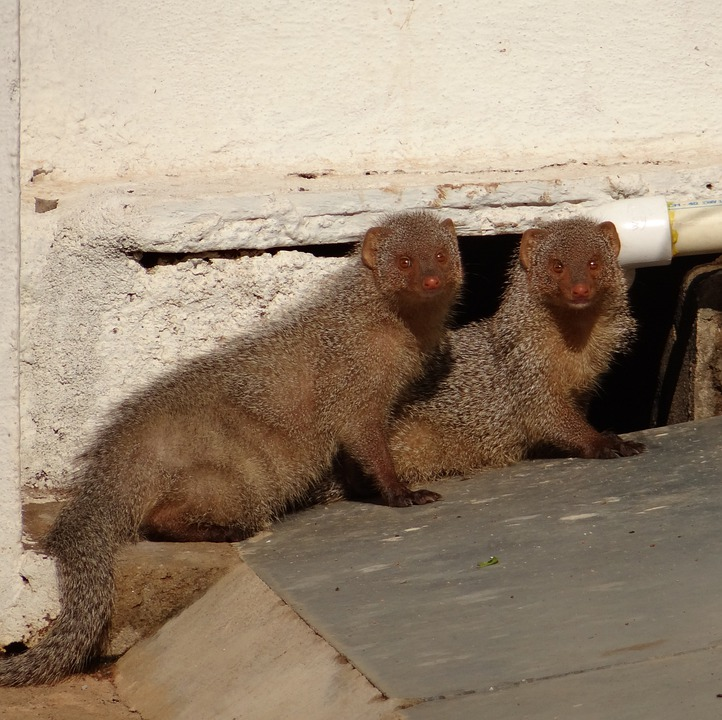Mongoose, Rodents, Indian, Animal, Dharwad, India