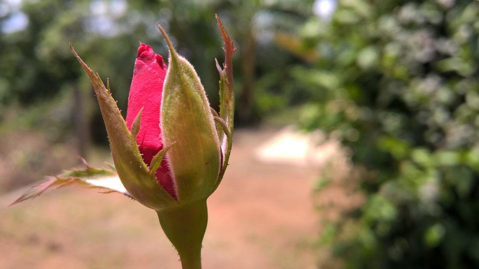 Rose, Nature, Natural, Floral, Fresh, Indian, Flower