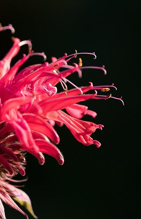 Indian Nettle, Flower, Blossom, Bloom, Garden, Red