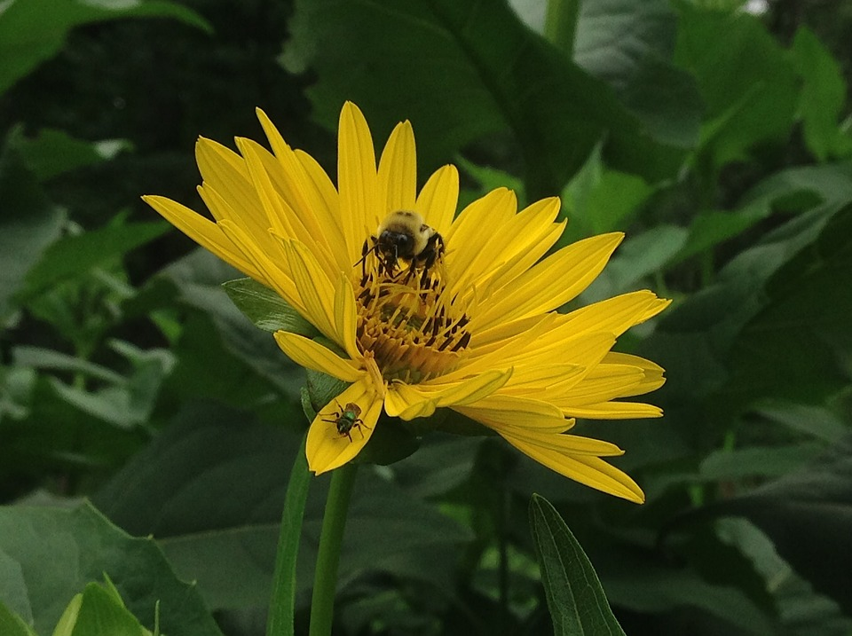 Indian Paint Cup, Pollinators, Sunflower, Helianthus
