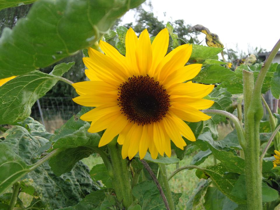 Sun Flower, Individually, Plant, Flowers, Nature