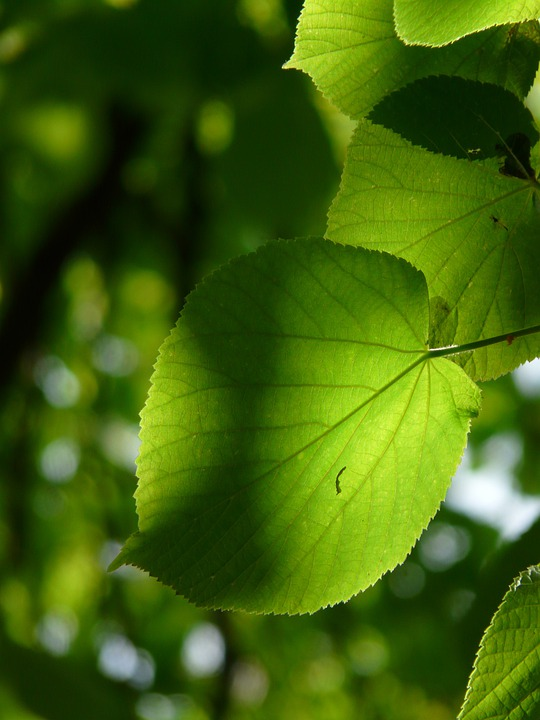 Linde, Leaf, Individually, Lipovina, Foliage, Leaves