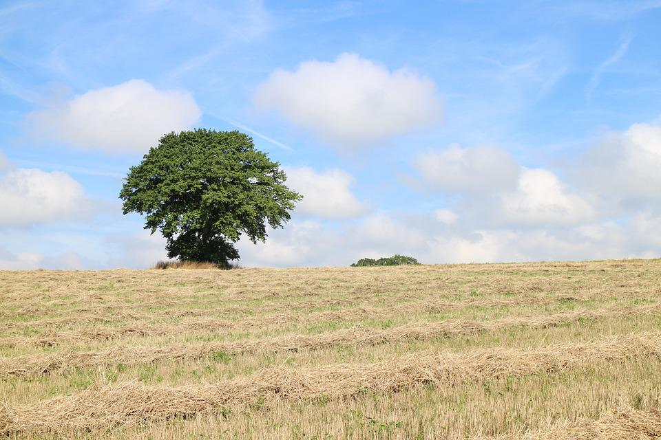 Tree, Individually, Field, Meadow, Hay, Sky, Clouds