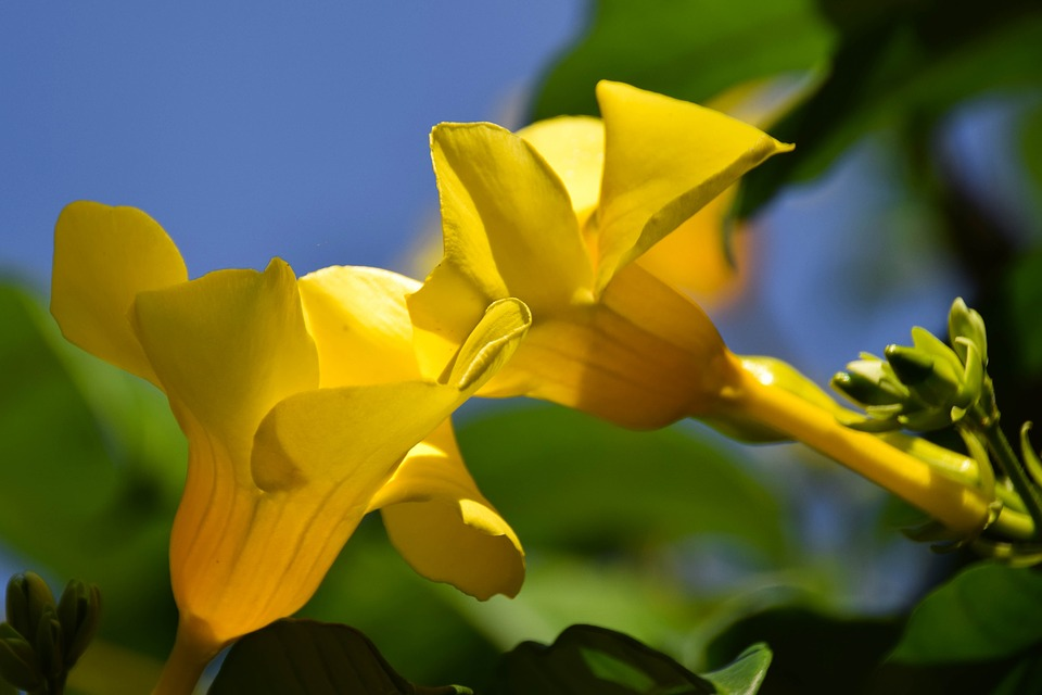 Gold Trumpet, Yellow Allamanda, Bali, Indonesia, Travel