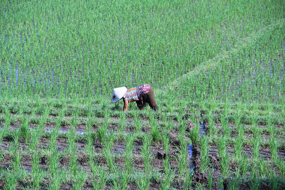 Paddy, Bali, Indonesia, Rice, Landscape, Agriculture