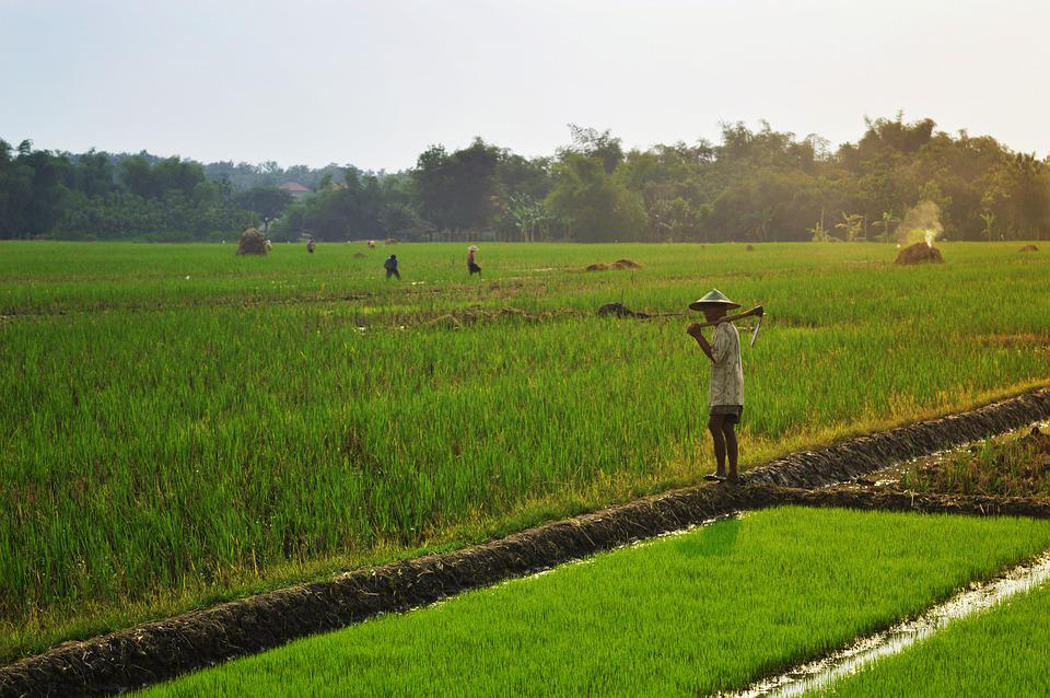 Farmer, Farming, Rice Field, Paddy Field, Indonesia