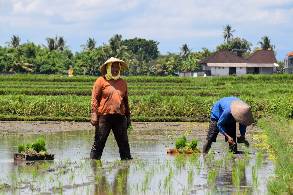Agriculture, Bali, Indonesia, Travel, Rice Fields