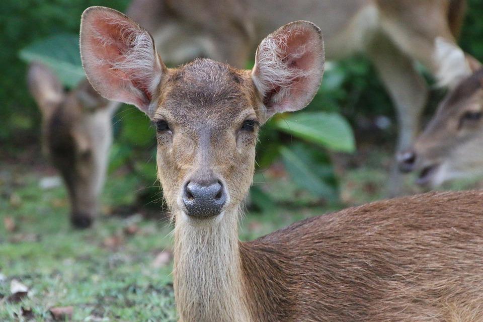 Deer, Nature, Indonesia, Ujungkulon, Jungle, Animal