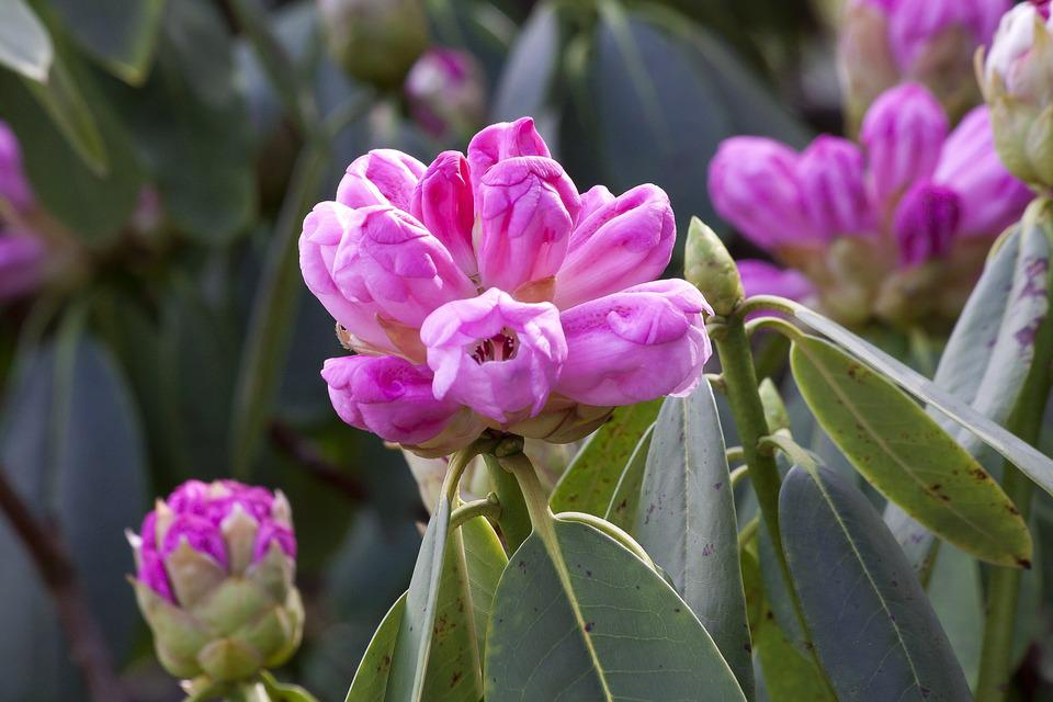 Rhododendron, Grapey, Doldentraubig, Inflorescence