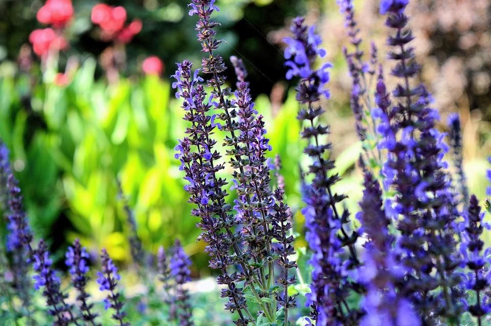 Flowers, Lavenders, Purple Flowers, Inflorescence