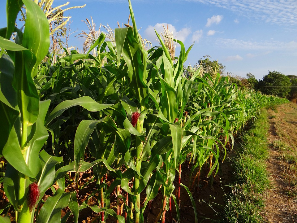Maize, Crop, Corn, Inflorescence, Cultivation