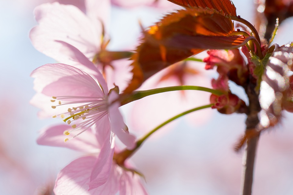 Nature, Inflorescence, Cherry, Cherry Blossoms, Garden