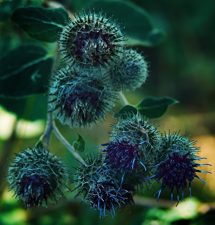 Thistle, Inflorescence, Close Up, Nature, Plant